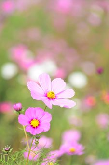 Free Close-up Of Pink Cosmos Flowers Stock Images - 84954514