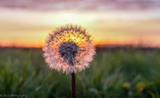 Free Sunset Through A Dandelion - Nieuw Weerdinge Stock Photos - 84954573