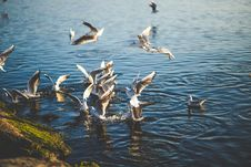 Free Flock Of Birds Flying And Diving Over Water During Daytime Royalty Free Stock Photo - 84955095