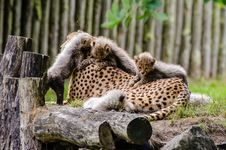 Free Cheetah Royalty Free Stock Photo - 84955385