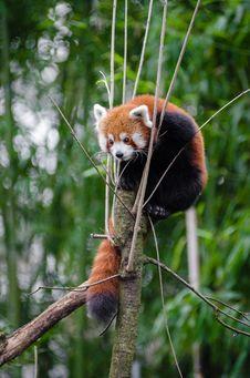 Free Red Panda Stock Photo - 84955880