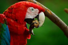 Free Red White Blue And Green Parrot Bird Stock Images - 84956194
