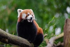 Free Red Panda Stock Image - 84956231