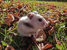 Free Wild Hamster Stock Images - 84956314