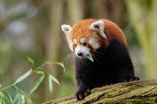 Free Red Panda Royalty Free Stock Photography - 84956447