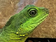 Free Profile Of Green Lizard Royalty Free Stock Photo - 84956655