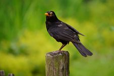 Free Black Bird Perched On Brown Wooden Pedestal Closeup Photography During Daytime Royalty Free Stock Photography - 84957687
