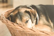 Free Dog Sleeping In Basket Royalty Free Stock Photos - 84957878