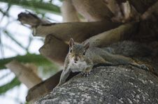 Free Squirrel On Tree Royalty Free Stock Photography - 84959957