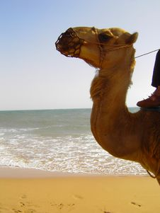 Free Camel By The Sea Stock Image - 84960741