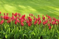 Free Red Tulips On Green Grass Field Royalty Free Stock Image - 84961116