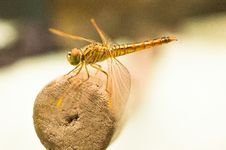Free Yellow Dragonfly On Brown Wooden Stick During Daytime Royalty Free Stock Images - 84961169