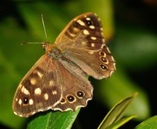 Free Brown And Black Butterfly Stock Images - 84962744