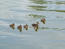 Free A Crew Of Ducklings! Royalty Free Stock Photo - 84963245