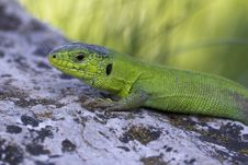 Free Eastern-green-lizard Royalty Free Stock Image - 84963536