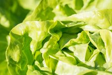 Free Lettuce Close Up Royalty Free Stock Images - 84964409