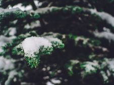 Free Snow Covering Pine Tree Branches Royalty Free Stock Images - 84964979