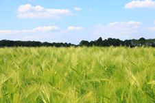 Free Green Wheat Field In Countryside Royalty Free Stock Images - 84965059