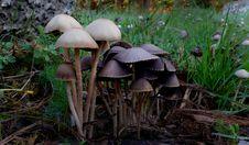 Free Panaeolus Sphinctrinus. Royalty Free Stock Image - 84965506