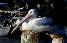 Free Pelican On A Pile. Stock Photos - 84966223