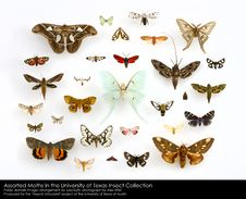 Free Assorted Moths &x28;Lepidoptera&x29; In The University Of Texas Insect Collection Royalty Free Stock Images - 84966479