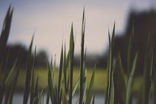 Free Reeds At Lake Royalty Free Stock Image - 84967066