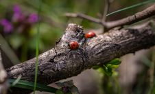 Free Lady Bugs On Branch Royalty Free Stock Image - 84967146