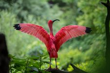 Free Flamingo Spreading Its Wings Royalty Free Stock Images - 84968559
