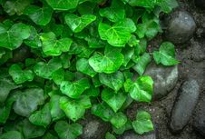 Free Green Leaf On Ground Besides Black Stones Royalty Free Stock Photography - 84968577