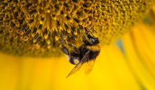 Free Bumblebee On Sunflower Royalty Free Stock Photography - 84969127