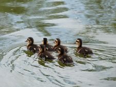 Free A Crew Of Ducklings! Stock Photo - 84969290