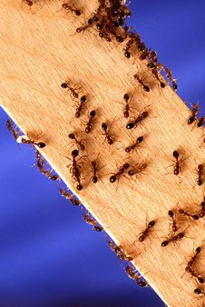 Free Ants On Plank Royalty Free Stock Photos - 84969398