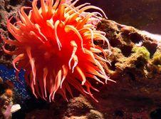 Free Monterey Aquarium. Anemones Stock Image - 84969531