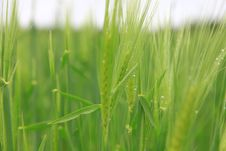 Free Green Crops With Dew Drops Stock Photo - 84969910