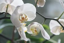 Free White Moth Orchids Stock Photography - 84970542