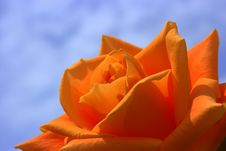 Free Orange Rose Royalty Free Stock Photography - 84970607