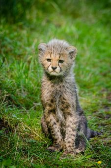 Free Cheetah Stock Photo - 84976170
