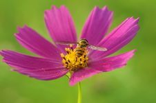 Free A Bee Collects Nectar, Turning Its Back On A Bright Pink Flower Cosmos, Green Blurred Background Royalty Free Stock Photos - 84978708