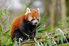 Free Red Panda Royalty Free Stock Image - 84979666