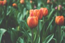 Free Orange Tulips With Green Stems Stock Photography - 84981532
