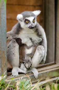 Free Ring-Tailed Lemur Babies Royalty Free Stock Photos - 84982578