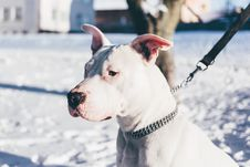 Free Pit Bull Terrier Stock Photos - 84991943