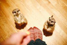 Free 2 Meerkats Beside Person Standing Stock Images - 84995994