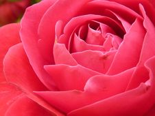 Free Pink Rose In Close Up Photography Royalty Free Stock Images - 84996729