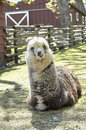 Free Smiling Alpaca Royalty Free Stock Photos - 850108