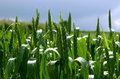 Free Green Field, Blue Sky Royalty Free Stock Image - 851466