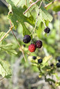 Free Blackberries 1 Stock Photography - 852512