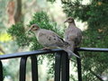 Free Pigeons Stock Images - 852634