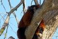 Free Sleeping Lemur Stock Image - 853341