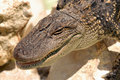 Free Juvenile Gator Stock Images - 858724